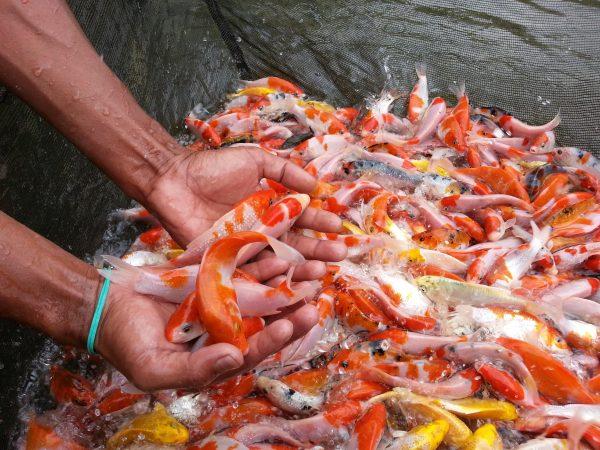 pembesaran bibit ikan hias