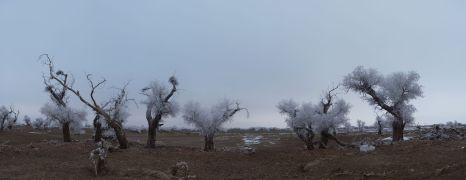 populus_euphratica-winter