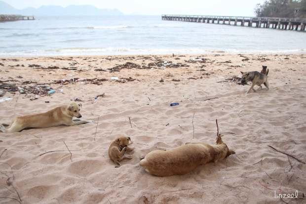 Chiens errants sur la plage
