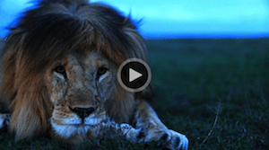 National Geographic: Understanding the Lives of Lions