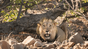 Lion Center collaboration with Namibia's Lion Rangers