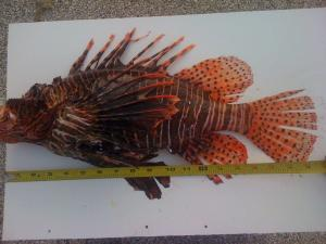 World Record Lionfish