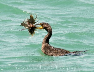 Cormorant with a lionfish