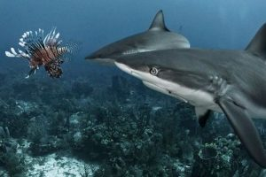 Sharks being trained to eat lionfish, widely considered a bad practice