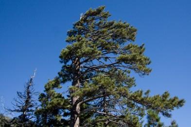Wind-swept Pine