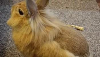 rabbit shedding