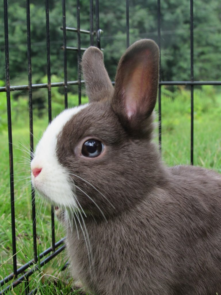 Netherland Dwarf Rabbits For Sale Near Me : netherland, dwarf, rabbits, Netherland, Dwarf, Rabbit, Right