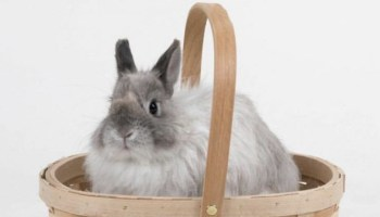 Jersey Wooly bunny