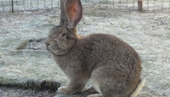 flemish-giant-for-sale