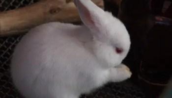 Polish rabbit or Britannia Petite