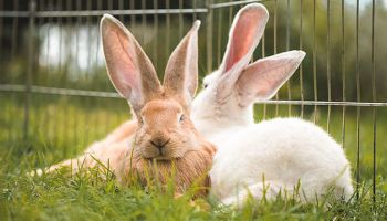 Continental Giant Rabbit for Sale