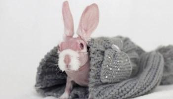 Hairless rabbit, Mr Bigglesworth