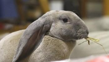 Velveteen Lop Rabbit side profile