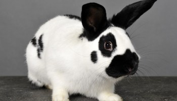 Dwarf Papillon Rabbit