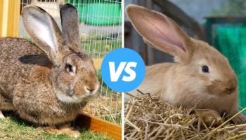 Flemish Giant Rabbit vs Continental Giant Rabbit