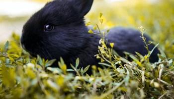 black rabbit breeds