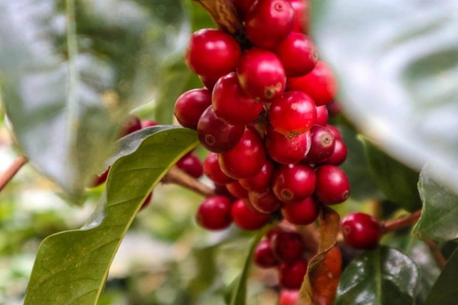 plantatie-de-cafea-BeanZ-Nicaragua-1-of-376-151_1575x1050
