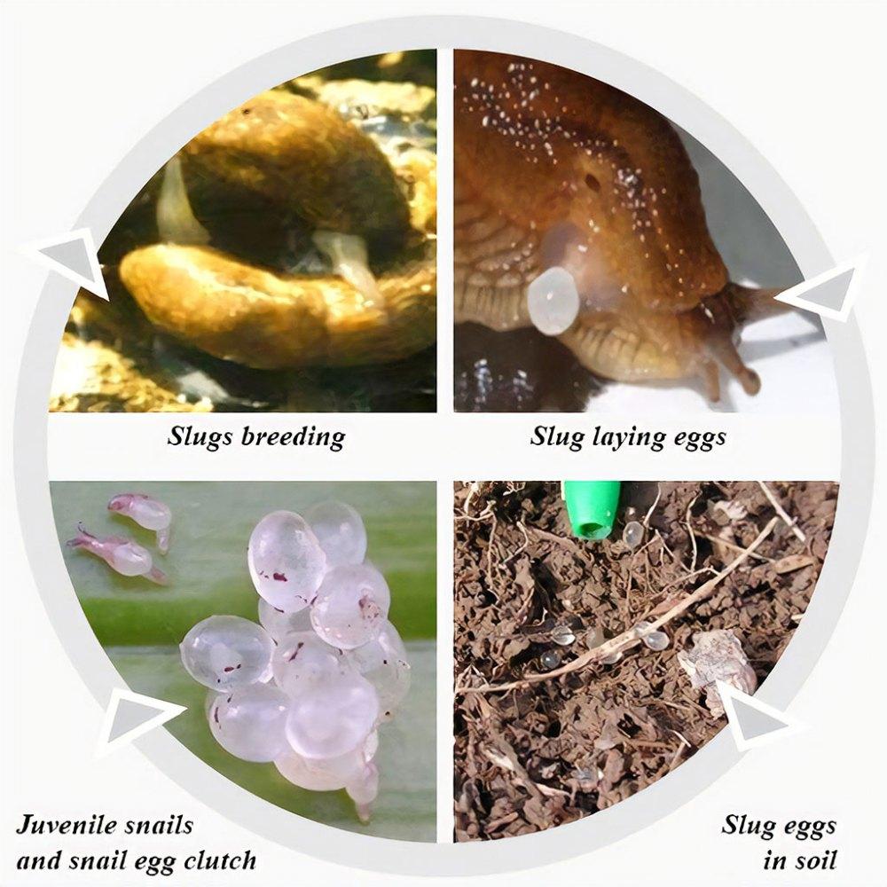 medium resolution of breeding cycle