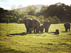 Notice how the baby is always between the adult elephants for protection