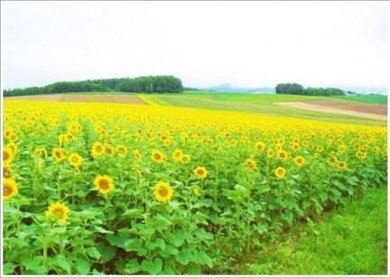 北海道、夏、花、ひまわり