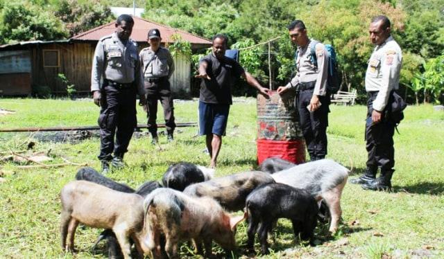 Hasil gambar untuk Babi Betina di Papua, Ini Perhitungan Ganti Rugi