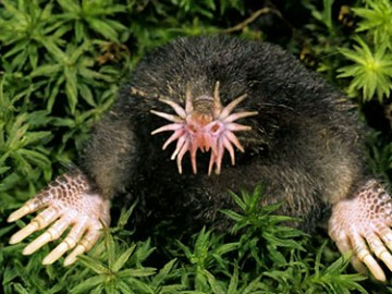 Tikus Tanah Berhidung Bintang