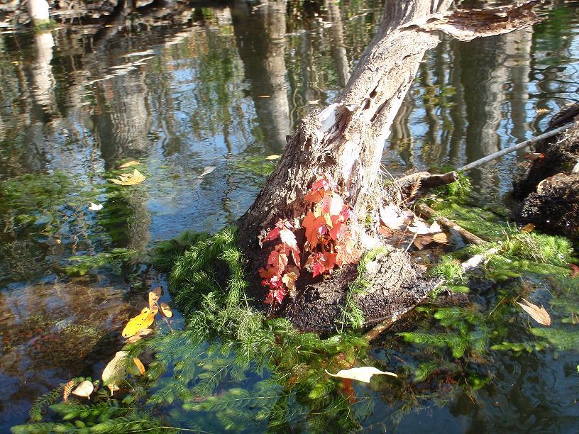 ocklawaha-river-floating-maple1