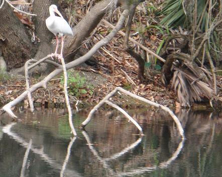 hillsborough-river-winter-ibis