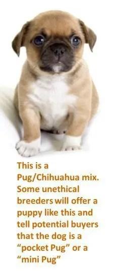 Tiny Baby Pugs : Miniature, Size,, Breed, Standard