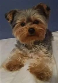 Yorkie Puppy Cut Vs Teddy Bear Cut : yorkie, puppy, teddy, Different, Yorkie, Haircut, Styles, Yorkshire, Terrier, Information