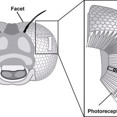 Diagram Of Artificial Eye 2008 Jeep Patriot Wiring Curved Compound Eyes Lis The Vertebrate