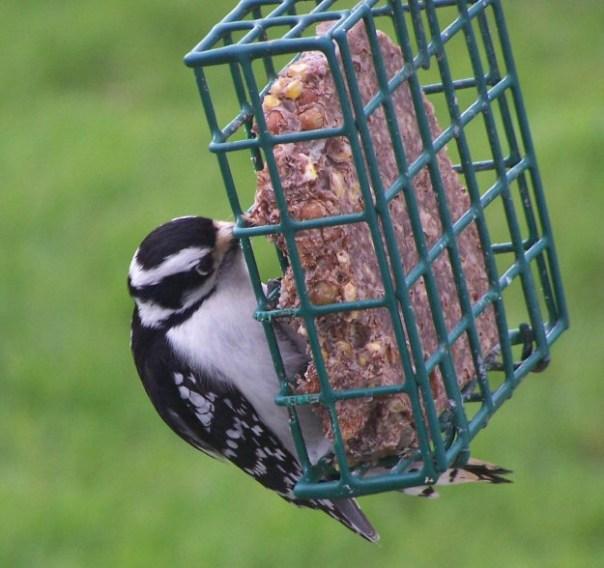 downywoodpecker3
