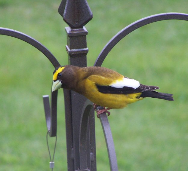 Evening Grosbeak?