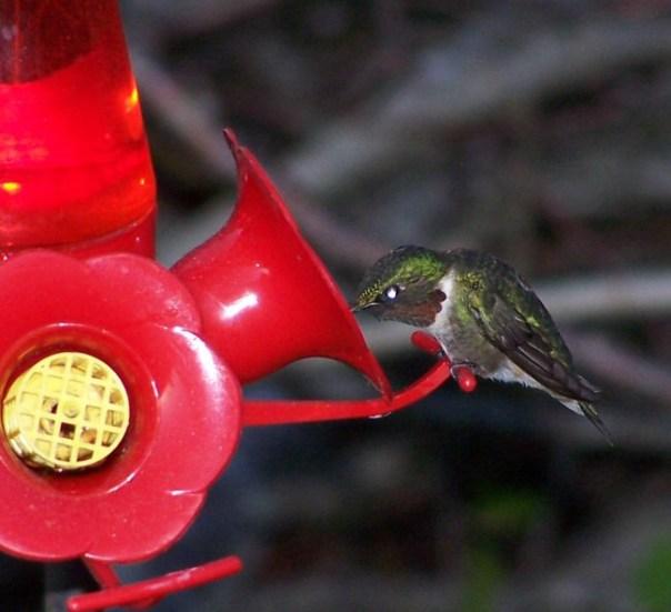 firsthummingbird4