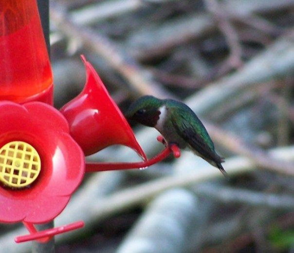 firsthummingbird6