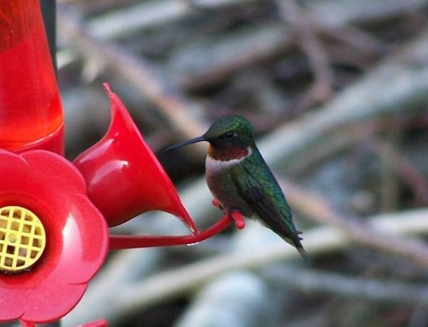 firsthummingbird7