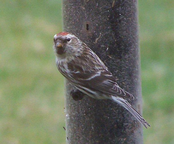 redhatbird