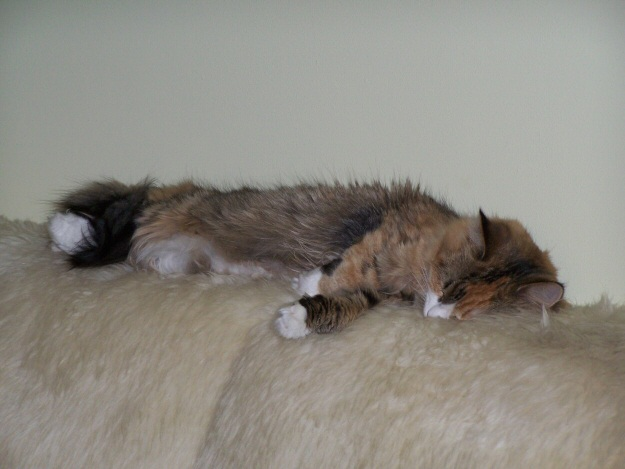 Sally sleeping on the back of the couch