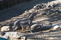 Donkey-like creature really enjoying a pee
