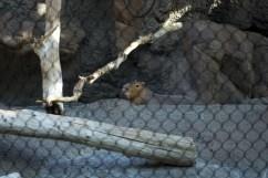 Big groundhog looking creature