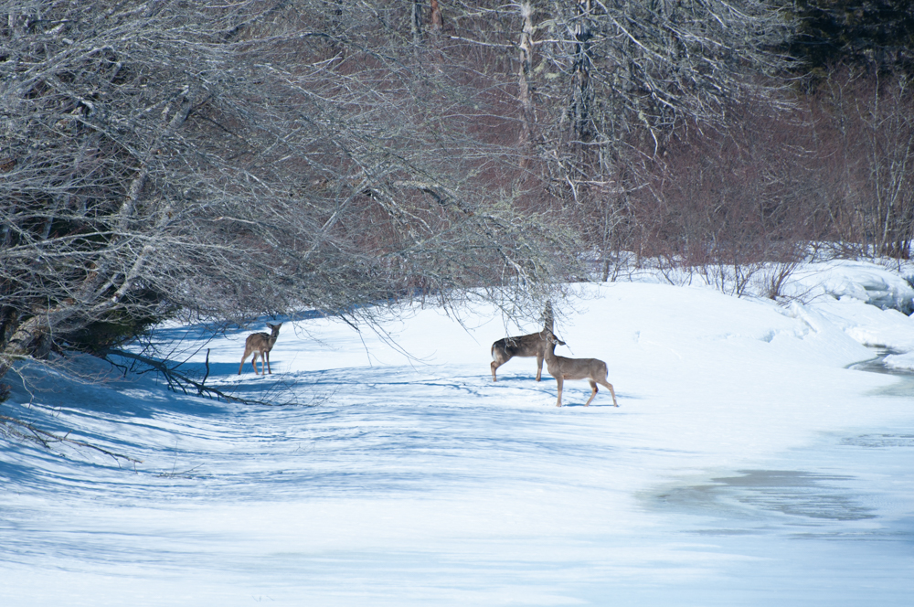 Three deer standing on the snow and ice along the St. Mary's River, one nibbling on a tree.