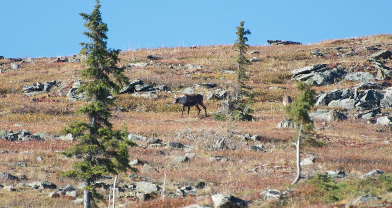 Sunday's adventures: Saw two caribou and a bear!