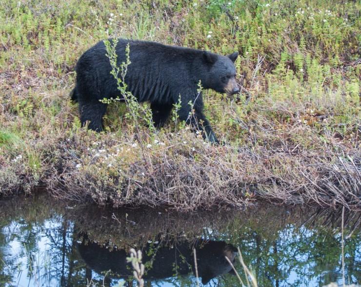 photo of a black bear