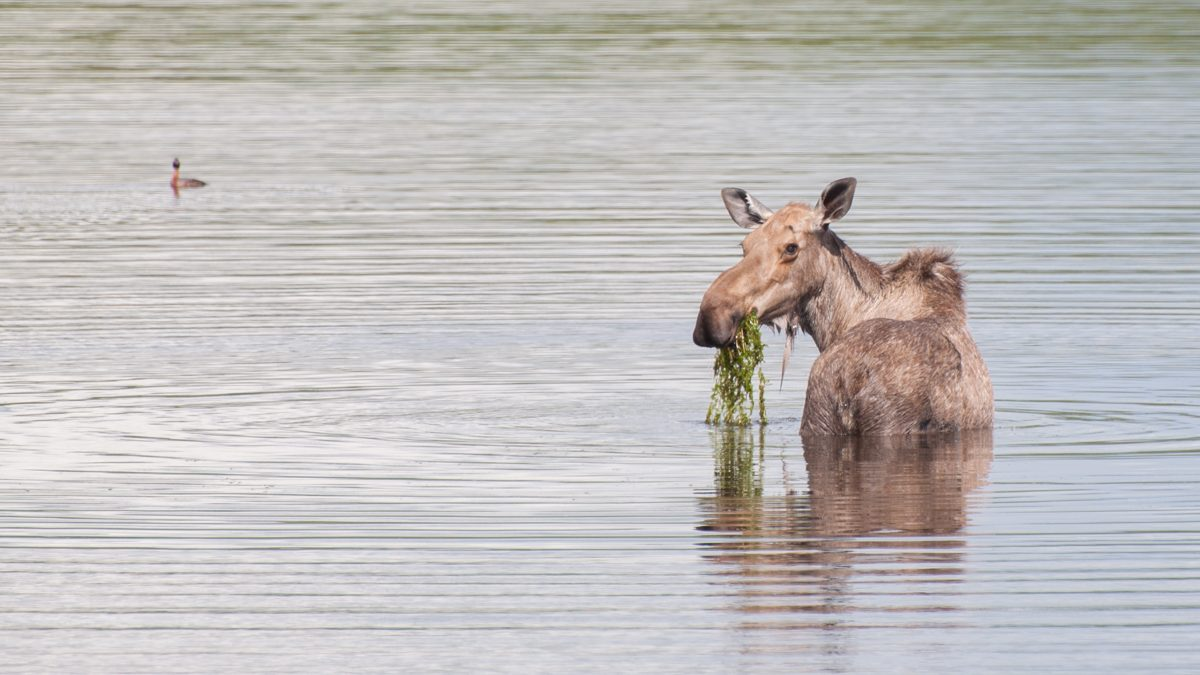 Fishing up the Dempster Highway, and watching a wet moose eat lunch