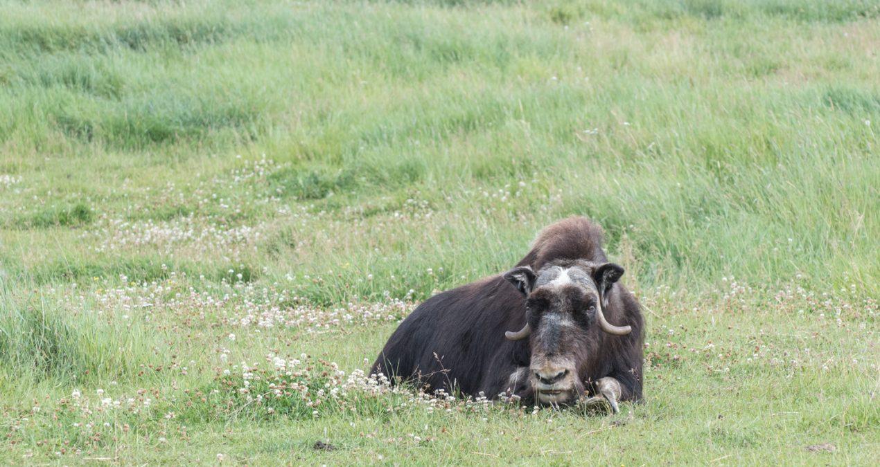 Musk Ox in Alaska!