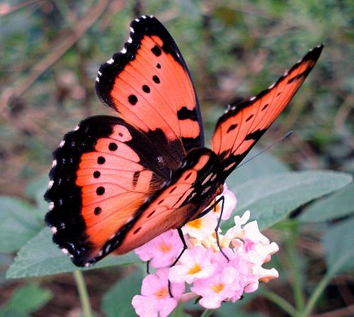 pretty-butterfly