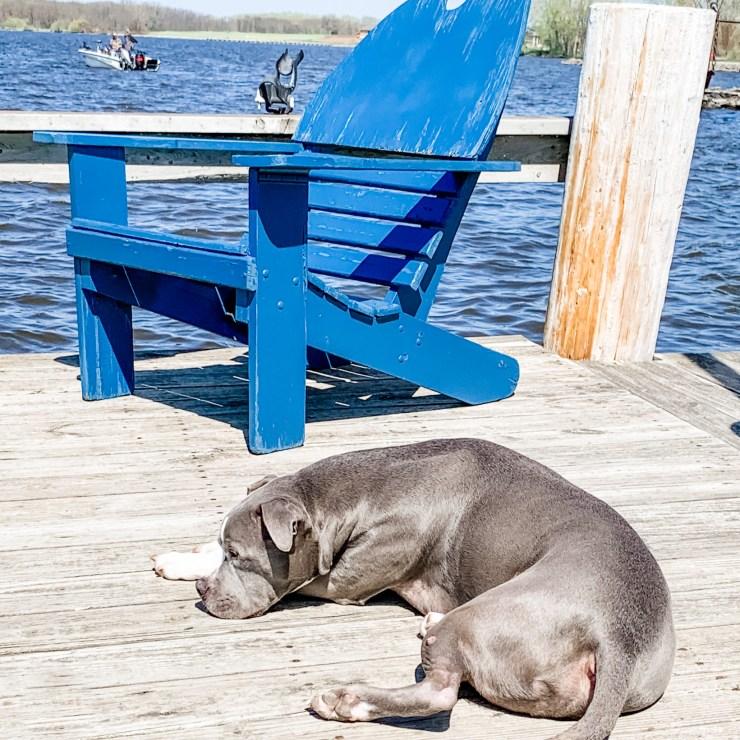 American Staffordshire Terrier/Lisa Bongean