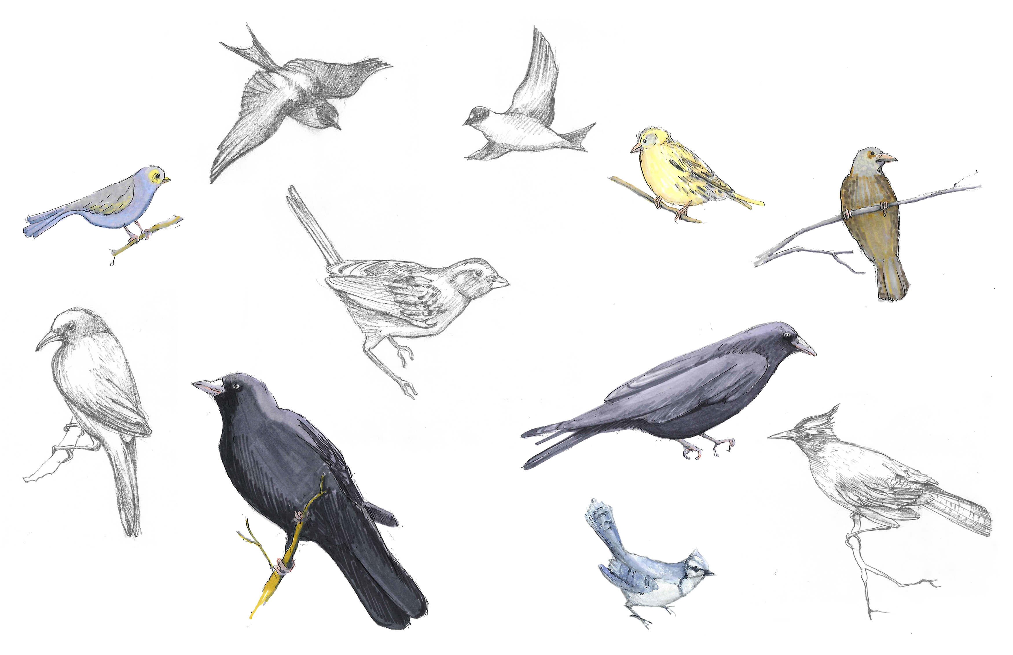 SKETCHBOOK BIRDS