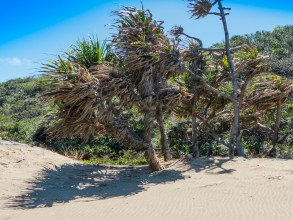 Ocean Facing Trees On Dunes