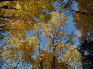Looking up at a blue sky through a canopy of yellow leaves